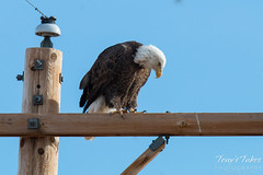 A Bald Eagle turns around on its perch