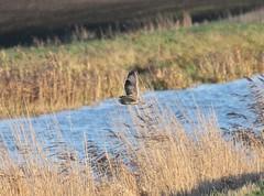 Short-eared Owl (asio flammeus) (mrm27) Tags: owl nationaltrust cambridgeshire asio shortearedowl asioflammeus burwellfen