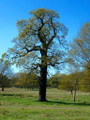 Richmond Park tree (Darkstar Moody) Tags: park flowers trees sky london water birds duck bath stream jay heather ducks richmond bark paths manderin azeleas manderinduck