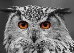 EUROPEAN EAGLE OWL (BUBO BUBO), BRITISH WILDLIFE CENTRE. (Gary K. Mann) Tags: england canon european eagle wildlife centre owl british bubo