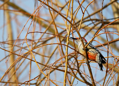"Red-Bellied Woodpecker • <a style=""font-size:0.8em;"" href=""http://www.flickr.com/photos/29084014@N02/15609395904/"" target=""_blank"">View on Flickr</a>"