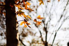 (samyaoo) Tags: autumn tree golden leaf maple bokeh taiwan