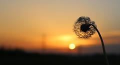 foggy sunset for the dandelion (HansHolt) Tags: sunset zonsondergang dandelion paardenbloem taraxacumofficinale fog mist canoneos6d canonef24105mmf4lisusm