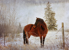 friendly neighbor (anniedaisybaby) Tags: winter horse texture field rural fence frost manitoba pasture friendly neighbor interlake flypaper thanksto inexplore jaiel littledoglaughedstories