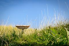 _DSC9457 (Clog dancing fiddler) Tags: blue green nature mushroom grass fungi toadstool