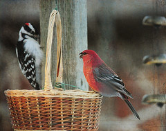 lunch date (anniedaisybaby) Tags: winter nature birds backyard woodpecker downywoodpecker picoidespubescens feeder manitoba seeds textures birdwatching interlake rephotography pinegrosbeak flypaper pinicolaenucleator coupsdecoeur bernhofen magicunicornverybest magicunicornmasterpiece