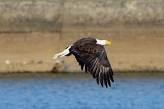 (Tobiwonkenobi) Tags: baldeagle eagles conowingo