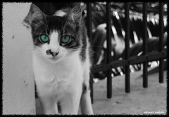 Magnetic Eyes (dinoscom) Tags: white black cat eyes colored