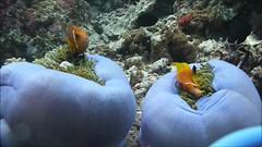 Nemo fighting (chris wright - hull) Tags: fish nemo scuba clownfish anemone scubadiving maldives amphiprion thila perideraion kahambu kahambuthila