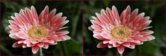 3-D Gerbera flower #1 (Lord V) Tags: flower macro 3d gerbera