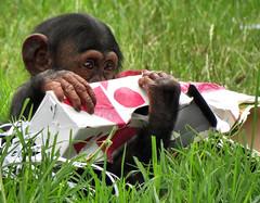 Fumo's christmas (myopixia) Tags: chimpanzee taronga tarongazoo fumo pantroglodytes myopixia