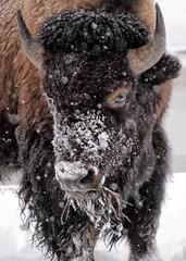 Tatanka, Yellowstone (paul_malen) Tags: winter snow nature wildlife yellowstone bison tataka