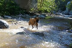 Roaring rapids (thejuiceman) Tags: california dog hiking sony trail otto boxer pasadena alpha a77ii a77m2