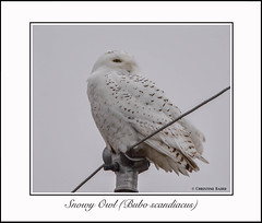 Finally....a Snowy Owl (Summerside90) Tags: autumn ontario canada fall nature birds december wildlife owls birdwatcher snowyowl portrowan