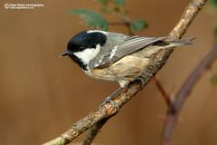 Coal Tit, Periparus ater. (Nigel Blake, 8 MILLION views Thankyou!) Tags: birds tit coal ornithology ater coaltit periparusater birdphotography periparus nigelblake nigelblakephotography