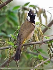 Himalayan Bulbul (Aves Tennantus) (gilgit2) Tags: pakistan birds geotagged wings wildlife feathers location species category avifauna islamabad rawallake imranshah himalayanbulbulavestennantus avestennantus