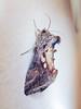 Silver U, Ferndale, Randburg, Jan 2012 (roelofvdb) Tags: january2012 moth place randburg unknowmoth silveru chrysodeixisecuta