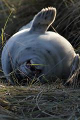 Grey Seal Pup (steven.kemp) Tags: beach grey norfolk gap seal pup common horsey