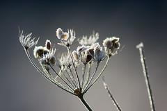 Upstanding frost