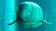 Smile Apparently (Haku_Orka) Tags: ice valencia pool spain whale beluga oceanografic yulka balena