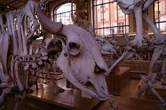 Bison d'Amrique (maza34) Tags: paris paleontology nol bison galery 2014 anatomical squelette squeleton squelettes nol2014 galeriesdanatomiecompareetdepalontologie