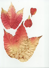 Weinlaub Vine Leaves Leaf Wein Blatt Bltter Herbst Autumn scan (hn.) Tags: autumn copyright fall leaves season leaf scans heiconeumeyer flat laub herbst jahreszeit vine scan scanned vitaceae flattened blatt bltter wein virginiacreeper parthenocissus flach gepresst copyrighted weinblatt vineleaves vineleaf wilderwein wildvine gescannt weinlaub laubblatt gescanned weinrebengewchse
