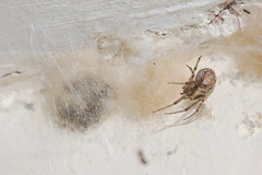 Spider nest protection (Procrustes2007) Tags: uk england spider suffolk nest britain wildlife arachnid flash nikond50 sudbury invertebrate wildlifephotography tamron2xteleconverter nikkor50mmais zygiellaxnotata missingsectororbweaver vivitarextensionrings68mmtotal arachnidnewyear