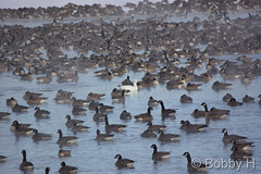 January 4, 2015 - Geese on a cold morning. (Bobby H)