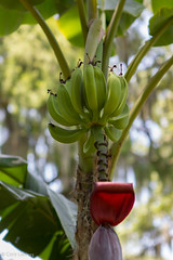 "Banana Tree • <a style=""font-size:0.8em;"" href=""http://www.flickr.com/photos/92159645@N05/16047550918/"" target=""_blank"">View on Flickr</a>"