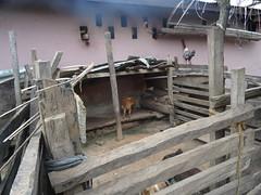 (hanna.ghana2014) Tags: chicken nature village goat ghana sit okaikrom