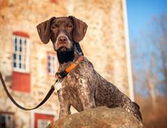 2834 Piper at Okehocking (The_Little_GSP) Tags: dog puppy pennsylvania germanshorthair piper gsp germanshorthairedpointer okehocking willistown thelittlegsp