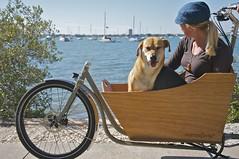 Katie (dog) loves riding in the Metrofiets. So does Bethany (human) (METROFIETS) Tags: beach bike bicycle florida bikes sarasota beachbike cargobike beachcruiser enjoytheride bikelife metrofiets keepriding bikesrq palmtreesandbikes