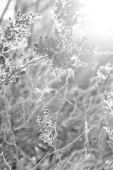 Delicate Grace (flashfix) Tags: blackandwhite sunlight plant ontario canada flower nature monochrome lines sunshine nikon bokeh ottawa naturallight layers 40mm mothernature 2015 softexposure hbw d7000 nikond7000 january142015 5dayblackandwhitechallenge 2015inphotos