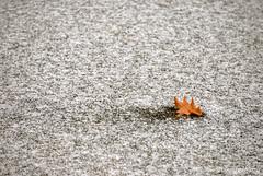 Oak Leaf ... on ice (Ken Scott) Tags: usa snow fall ice one december michigan single lone oakleaf hdr freshwater voted frozenpond 2014 leelanau 45thparallel sbdnl sleepingbeardunenationallakeshore mostbeautifulplaceinamerica