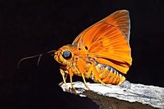 Orange Awlet Butterfly (Burara Harisa Consobrina), Singapore (singaporebugtracker) Tags: skipper macroinsect orangemoth regentskipper macritchieforest dartingflight butterfliesofsingapore orangeawlet singaporebugtracker crotchethook buraraharisaconsobrina