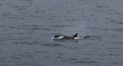 141217 Sighting of Killer Whale (BY Chu) Tags: antarctica orca killerwhale antarcticaxxi bransfieldstrait