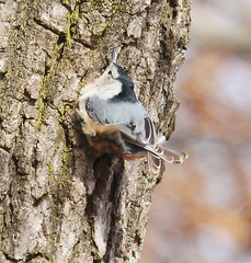 IMG_3513-1 White-breasted Nuthatch (John Pohl2011) Tags: bird canon john 100400mm pohl perching t4i 100400mmlens canont4i