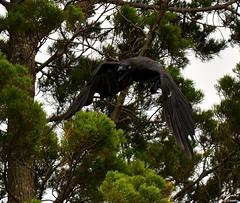 DSC_0008 (RUMTIME) Tags: bird nature birds fly flying flight feathers feather queensland coochie coochiemudlo