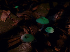 Mycena chlorophos (VanessaRyan) Tags: nature australia naturalbridge fungus queensland mycena bioluminescent springbrooknationalpark arfp geo:country=australia arffungi qrfp mycenachlorophos mycenaceae greenarffungi whitearffungi subtropicalarf gilledarffungi basidiomycetesarffungi taxonomy:binomial=mycenachlorophos geo:lat=28230772 geo:long=153242399