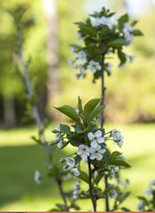 (Nickolas Titkov) Tags: cherry spring may flowering cerasus