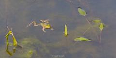 2016-05-06 - 16.01.59 - _L5B2803 - 1 (Rossell' Art) Tags: pad frog toad sapo rana frosch grenouille kikker rano bufo r krte crapaud  rospo doodebemde batracien