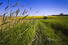 Rapslandschaft (Frau Holle2011) Tags: bayern deutschland feld wiese himmel gelb grn landschaft raps blauer frhling blhen