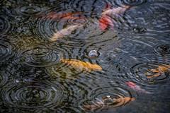 Textures on a rainy day - goldfish pond in the garden - Norway (Ingunn Eriksen) Tags: rain pond goldfish raindrops ripples goldfishpond