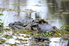 Alligator camouflage (annapujol19) Tags: usa nature animal louisiana alligator roadtrip bayou reptil