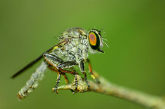 Robber Fly (ahmedezaz76) Tags: wild beauty insect fly outdoor bangladesh robber