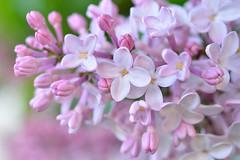 Flieder (capribeach1) Tags: 35mm spring nikon blossom rosa tokina lilac frhling blten flieder d7000