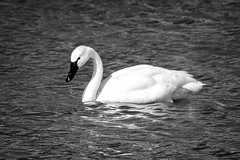 Tundra swan (billd_48) Tags: winter ohio nature birds swans waterfowl tundraswan