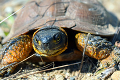Up close Wood Turtle (U.S. Fish and Wildlife Service - Midwest Region) Tags: wood turtle research upper midwest riverine habitat improvement project riverne michigan state wildlife competitive grant spring study monitoring population dnr department natural resources phase repitle