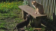 Amore (mih.mih4) Tags: cats nature animal cat canon spring kitten chat kitty gato neko katze  gatto amore kater  katt kato felis kissa    feles