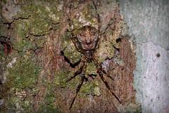Episinus (dustaway) Tags: nature rainforest australia camouflage nsw arthropoda rotarypark arachnida lismore araneae theridiidae araneomorphae australianspiders northernrivers crypsis episinus spideronbark